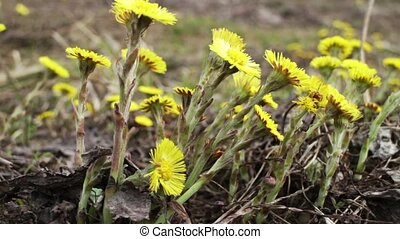 coltsfoot Yellow primroses zoom out - coltsfoot Yellow...