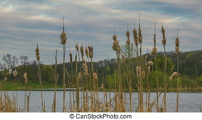 Reddish bulrush growing near the river at early spring in...