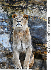 Close up portrait of male African lion - Close up portrait...