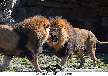 Two male African lions fight and roar in zoo - Two male...