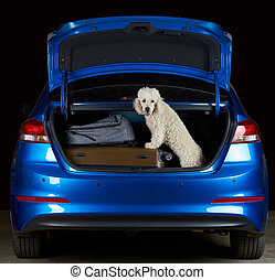 Happy white poodle in car trunk isolated on black background