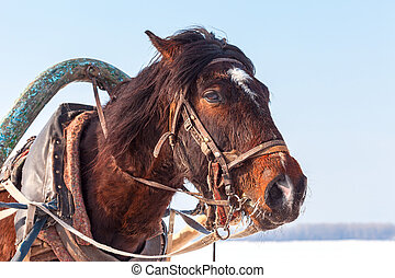 Head of brown horse with harness in winter sunny day. Riding...