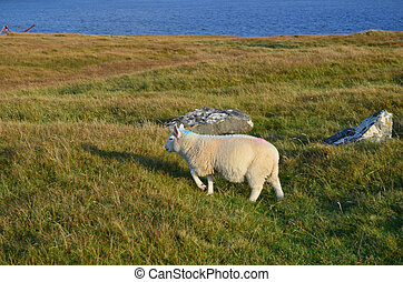 Adorable Sheep Walking Through a Field at Neist Point -...