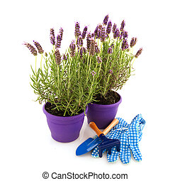 Lavender Stoechas with gardening tools