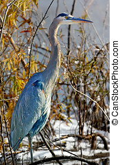 Great Blue Heron at Watson Lake Arizona - A Great Blue Heron...