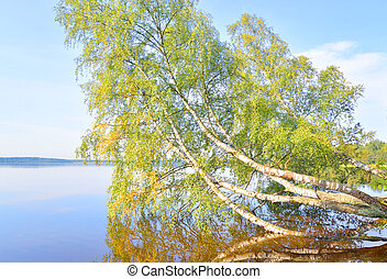 Tilted birch over lake water. - Tilted birch over lake water...