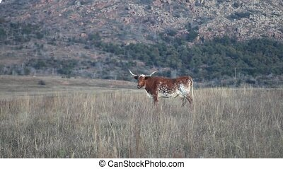 Longhorn in a field. - This is a video of a Longhorn in an...