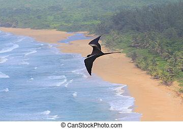 Soaring Magnificent Frigatebird
