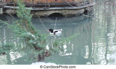 Wild ducks look for food