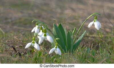 Young Snowdrops with Drops of Dew Sway in the Wind. Close...