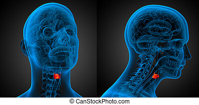 3d rendering medical illustration of the  larynx