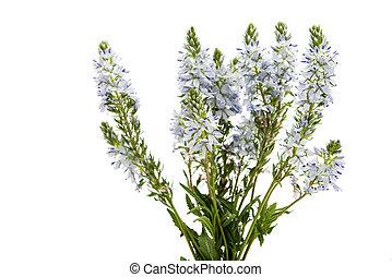 meadow blue flowers