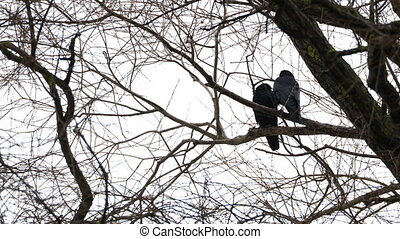 Pair of ravens sits on tree. One big black bird defecates.