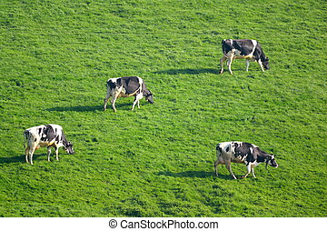 Herd of British Friesian cows