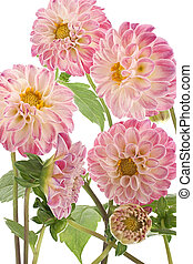 dahlia - Studio Shot of Pink and White Colored Dahlia...