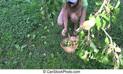Female farm worker gathering windfall pears to wicker basket.