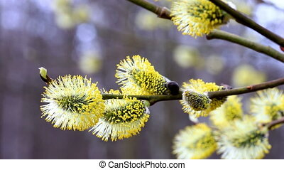 Pussy willow branches blooming at spring. closeup