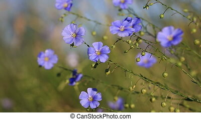 Meadow of blooming blue flaxes - Close up view at blue...
