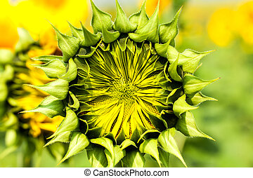 Budding Sunflower - Agriculture, budding sunflower in the...