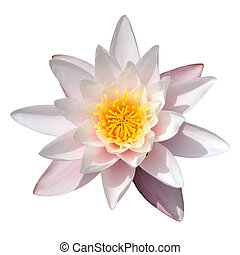 Flower of white water lily