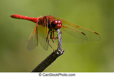 Red Dragonfly on broken twig - Red Dragonfly (Cardinal...
