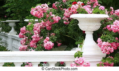 Bush of the blossoming pink roses against a white stone vase...
