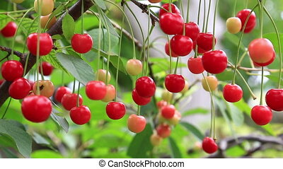 Ripe berries of sweet cherry on branches close up
