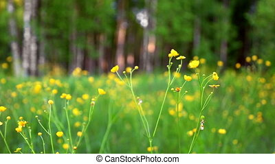 Ranunculus blooming in meadow - Buttercup (Ranunculus acris)...