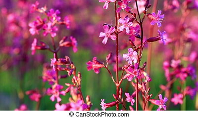 Bush blossoming Silene armeria - Silene armeria flowers are...