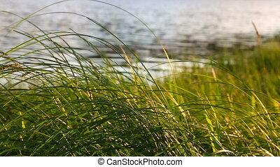 Grass at sunset. Nature composition. - Grass at sunsett....