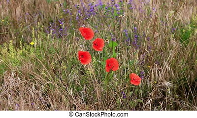 Field of bright poppy flowers - Field of bright red poppy...