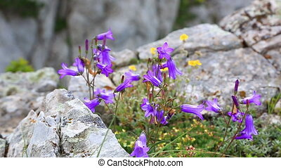 Lilac bells - lat. Campanula alpina - wildfllowers of...