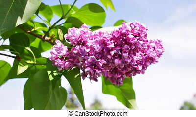 Bush of a lilac flowers waves on a wind