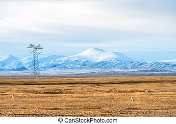 snow mountains landscape with the tibetan antelope on cold...