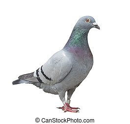 close up full body of speed racing pigeon bird isolate white...