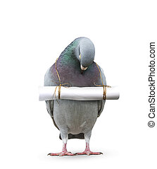pigeon bird and paper letter message hanging on neck for...