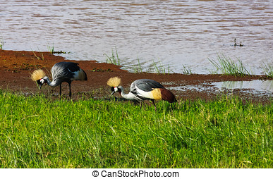 Two crone crane on shore. SweetWater, Kenya