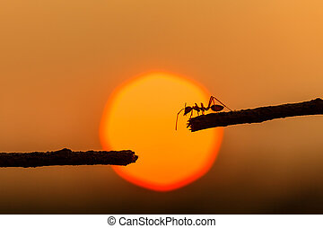 Silhouette red ant walking on tree branch and sunset background