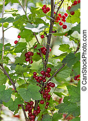 Red ripe currents in garden - Red ripe currents hanging in...