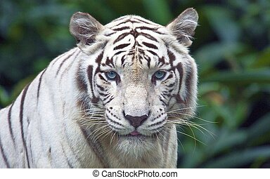white tiger - A white tiger in sunderbans wild life,west...