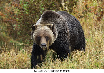 male Grizzly Bear walking through mountain meadow