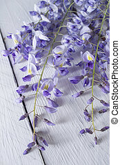 The colors of wisteria - The flower wisteria presented on...