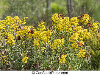 Monarch Butterflies Landing on Goldenrod Horizontal image
