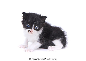 Cute Baby Tuxedo Style Kitten On White Background - Adorable...