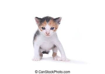 Cute Three Week Old Calico Kitten on White Background -...