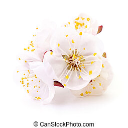 Apricot blossom isolated on a white background.