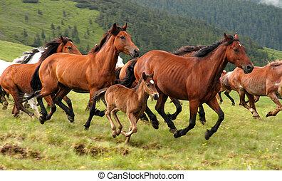 Wild horses in Romanian mountain Rodna....