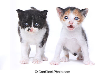 Two Cute Baby Kittens on White Background - Two Adorable...