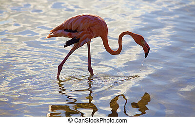 Caribbean flamingo at the flamingo sanctuary on Bonaire