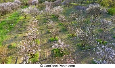 Camera flight over cherry blossom tree. Orchard in spring...